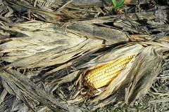cornfieldear