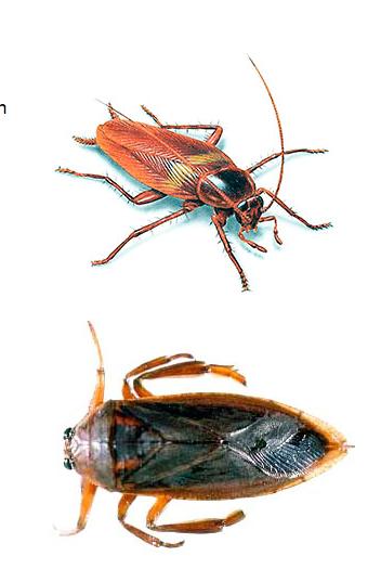 Waterbug Or Cockroach Permatreat Pest Termite Control