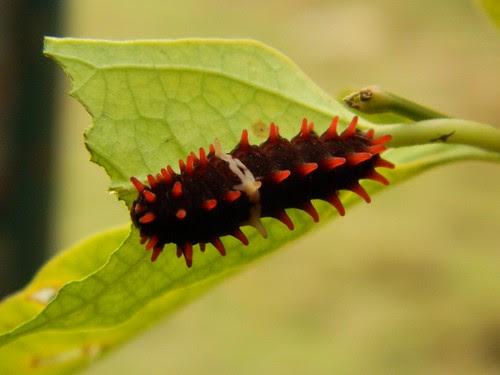 Common Rose Butterfly's Catterpiller