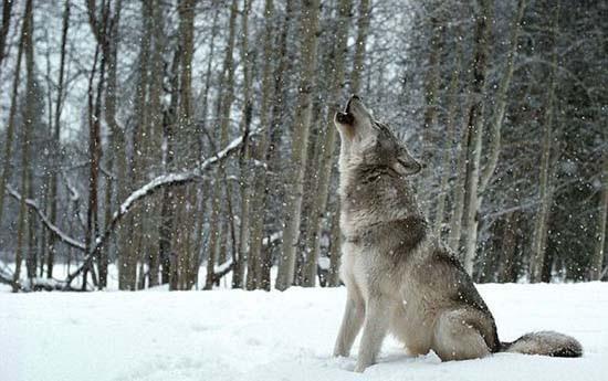 Ζώντας με τους λύκους (12)