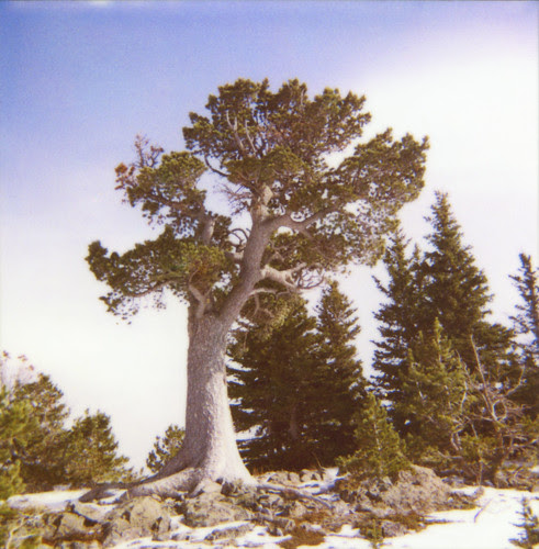 Boundary Pine polaroid