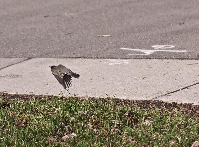 robin takeoff eh