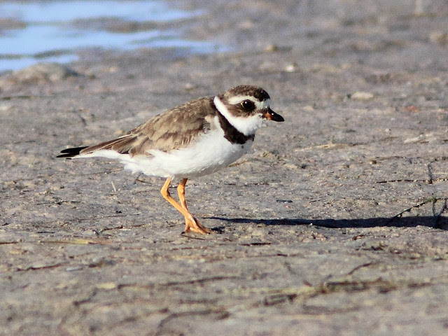 Semipalmated Plover 2-20130311