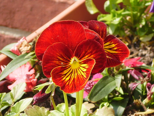 Rust and Gold Pansy close up