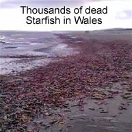 Dead Starfish in Wales