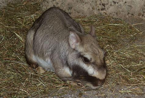 Plains viscacha   Wikipedia
