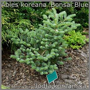 Abies koreana 'Bonsai Blue' - Jodła koreańska
