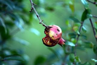 granada ibicenca (foto Juan Pérez Escribano)