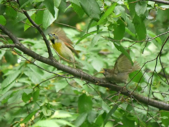 Ed Gaillard: birds &emdash; Dickcissel and House Sparrow fledgling