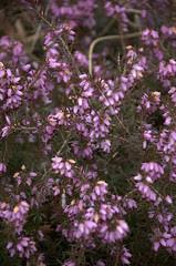 "Flowers, Erica carnea ""Springwood Pink"""