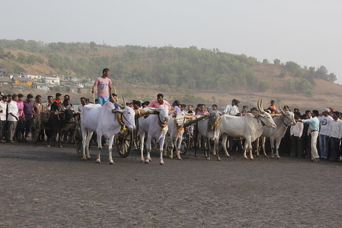 Bullock Cart Race Begins Murud Janjira by firoze shakir photographerno1