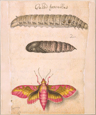 Small elephant hawk moth (Deilephila porcellus), caterpillar, and pupa