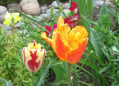 red_yellow_tulips