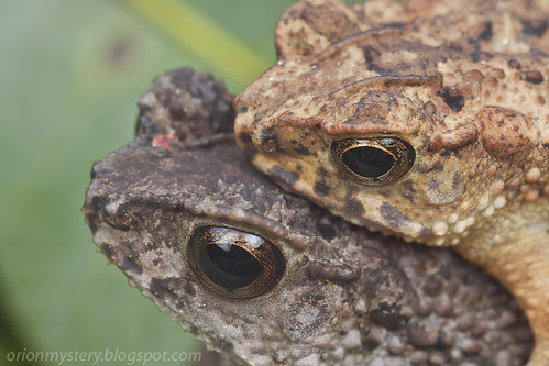 mating pair of toads IMG_1628 copy