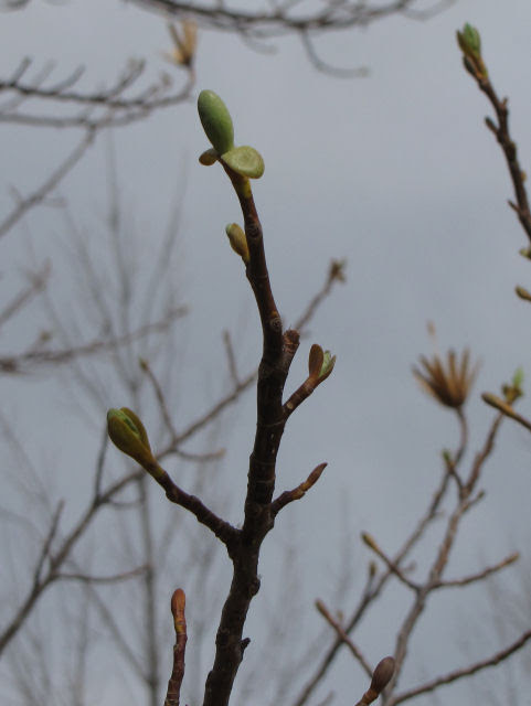 tulip tree bud