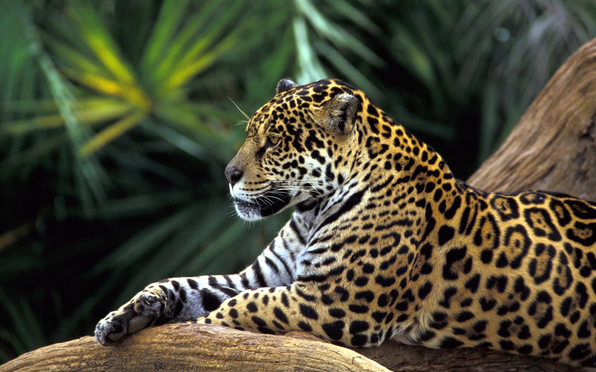 Jaguar Wallpaper Rainforest Hd Desktop Wallpapers 4k Hd