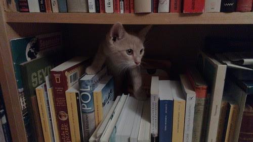 Photo eines roten Katers, der hinter einer Bücherreihe hervorschaut