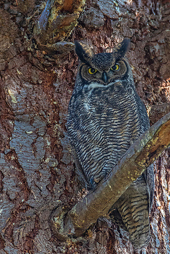 Great Horned Owl, Snohomish County, Washington