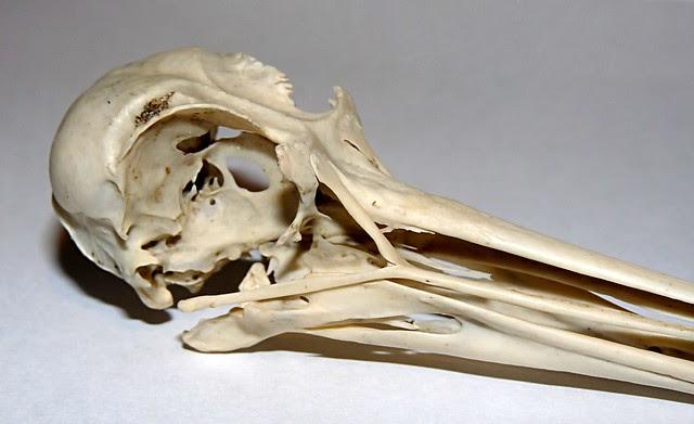 25165 - Oystercatcher Skull
