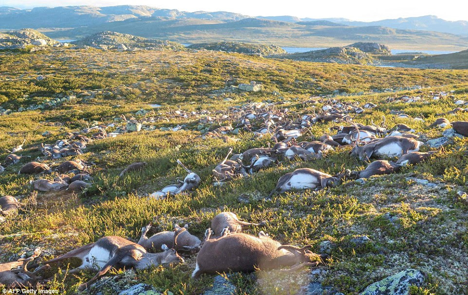 Some 323 dead wild reindeers struck by lightning are seen littering a hill side on Hardangervidda mountain plateau in central Norway on Saturday