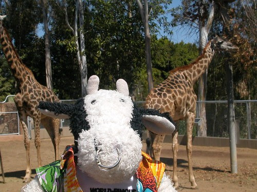 Jeff and Steve the giraffes