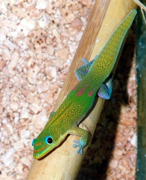 Tập tin:Phelsuma l.  laticauda.jpg