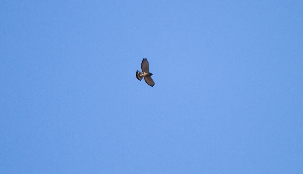 BroadwingedHawk