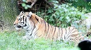 Siberian Tiger at the Bronx Zoo.