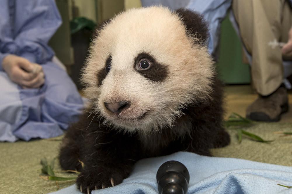 Xiao Liwu το μικρό panda