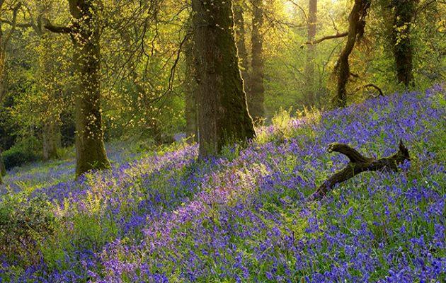 Los mejores jardines bluebell en Inglaterra