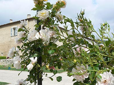 roses blanches.jpg