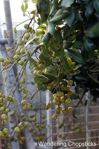 11.13 Longan Blossoms & Fruit 4