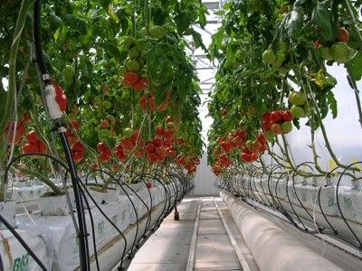 La culture de tomate industrielle
