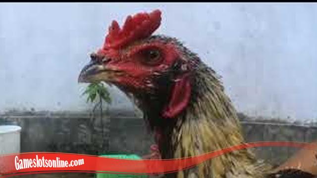 100+ Gambar Ayam Bulbi HD