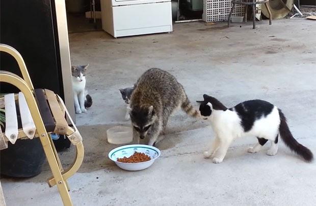 Guaxinim atrevido foi filmado roubando a comida de gatos (Foto: Reprodução/YouTube/ Rigo Gonzalez)