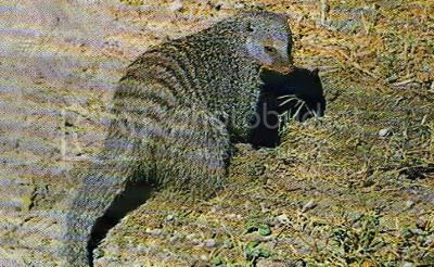 Pg5-1, BANDED MONGOOSE