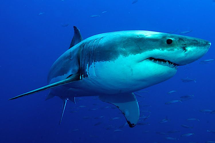 Sharks: they are more active during twilight hours because that's when they are searching for food | Photo: Shutterstock
