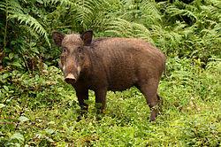 Wildboar in Anamalai hills.jpg