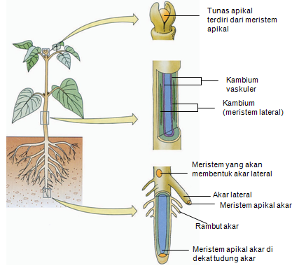 Makalah Biologi Struktur Perkembangan Tumbuhan 1 Jaringan Tumbuhan Gudang Makalah