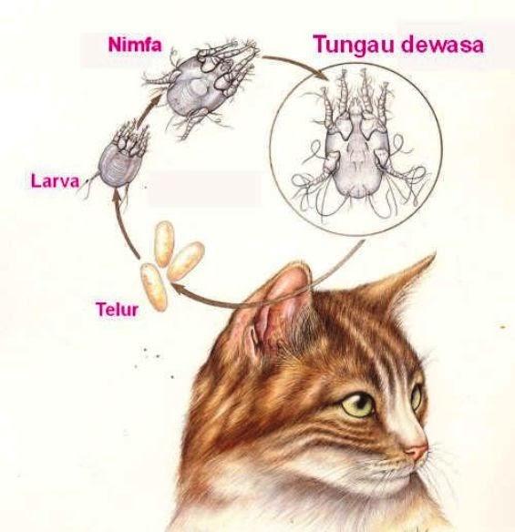 Mengenal Scabies Pada Kucing
