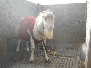 New Billy Goat Shakespeare