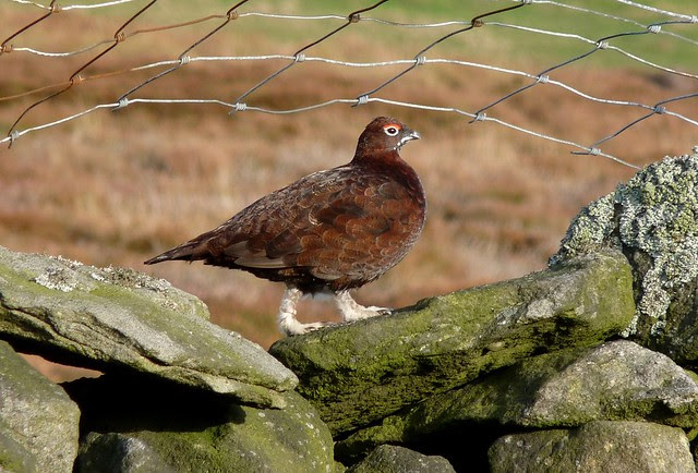 25364 - Red Grouse, Yorkshire