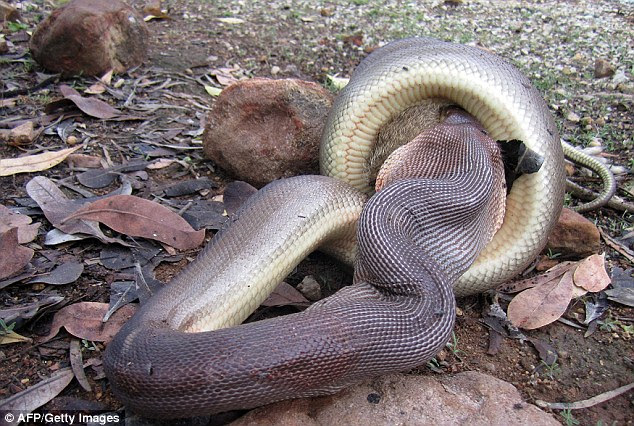 In the photos, the snake is first seen wrapping itself tightly around the marsupial to suffocate it