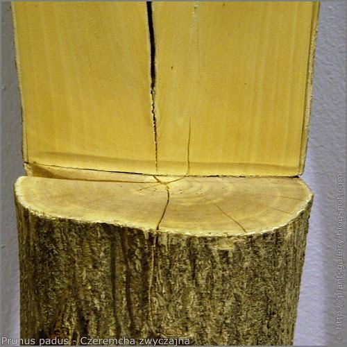 IMGP7591 Prunus padus - Czeremcha zwyczajna przekrój pnia słoje