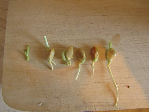 Germinated citron seeds