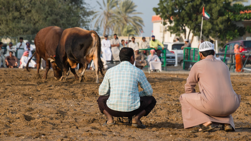 Bull Fighting - Bull Butting, Fujeirah, UAE