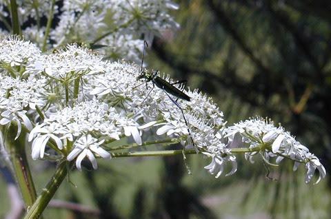 summerflowersblackbeetle
