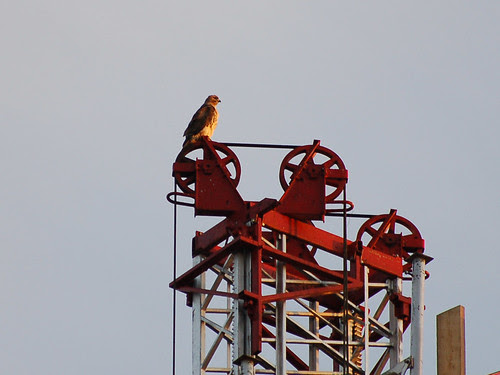 Red-Tail on Elevator Pulley