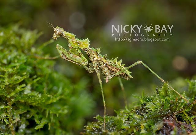 Moss Mantis (Ceratohaania sp.?) - DSC_6492