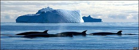Minke whales and iceberg